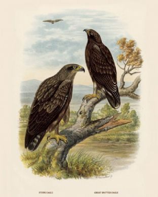 Eagle, Steppe Eagle and Greater Spotted by O V Riesenthal